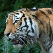 Siberische tiger — Stock Photo