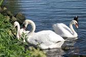 Swans birds — Stock Photo