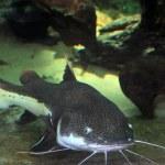 Catfish — Stock Photo #28294377