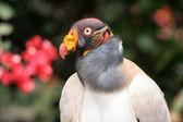 King vulture — Stock Photo