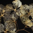 Skeleton of Hydrangea plants — Stock Photo