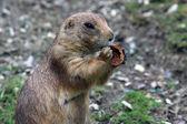 Prairie dog — ストック写真