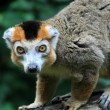 The crown lemur — Photo