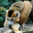 The crown lemur — Foto Stock