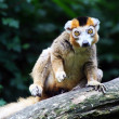 The crown lemur — Foto de Stock