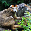 de kroon lemur — Stockfoto #33042947