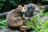 The crown lemur — Stock Photo