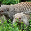 Banded mongoose — Stock Photo #33977941