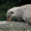 Banded mongoose — Stock Photo #33977943