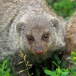 The banded mongoose — Stock Photo