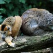 The crowned lemurs — Foto Stock
