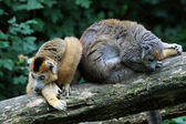 The crowned lemurs — Stock Photo