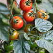 Tomatoes to the shrub — Stock Photo
