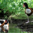 The Common Shelduck — Stock Photo