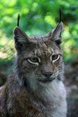 Lynx — Fotografia Stock