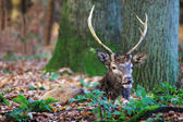 European male stag or roe-deer — Stock Photo