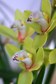 Yellow Phalaenopsis flowers — Stock Photo
