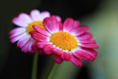 Red daisy flowers — Stock Photo
