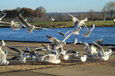 Group of gulls — Stock Photo