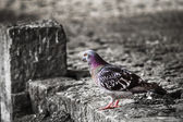 Dove 001 — Stock Photo