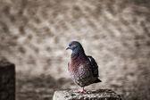 Dove 002 — Stock Photo