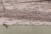 Wood background with Ant 001-130427 — Stock Photo