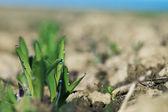 Rostlina kukuřice 002-130509 — Stock fotografie