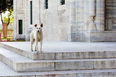 Dog in front of Suleymaniye Mosque  - Istanbul — Stock Photo