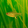 Lemon tetra ( Hyphessobrycon pulchripinnis ) - Stock Photo