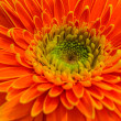 Big Orange Gerbera — Stock Photo #36059115