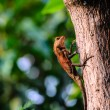 Small dragon Lizard — Stock Photo #36059141
