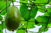 Big Wax gourd or Benincasa hispida. — Stock Photo