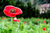 Closeup of a large red Papaver somniferum L — Stock Photo