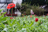 Papaver somniferum — Stock Photo