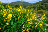Yellow Flower on Mountain. — Stock Photo