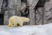 Polar Bear in Japan Zoo — Foto Stock