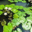 White Lotus with Green Leaves Background in The Lake — Stock Photo