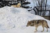 Sibirische am schneeberg — Stockfoto