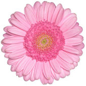 Pink gerbera daisy flower — Stock Photo
