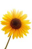 Sonnenblume vor weißem hintergrund — Stockfoto