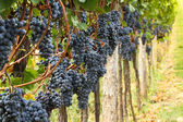 Vineyards autumn harvest. Ripe grapes in fall. — Stock Photo