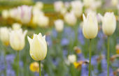 Cream tulips with blurred background — Stock Photo