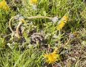 Dandelion dying in lawn — Stock Photo