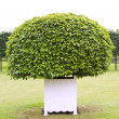 Stock Photo: One topiary tree in white wooden tub
