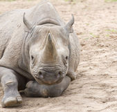 Black rhino on dry soil — Stock Photo