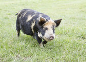 Rare breed Kunekune piglet in field — Stock Photo