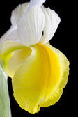 Close up yellow and white iris flower on black — Stock Photo