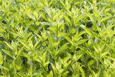 Garden mint — Stock Photo