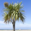 Palm tree with blue sky at Barmouth — Stock Photo