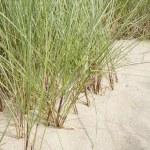 Marram grass — Stock Photo #30187833